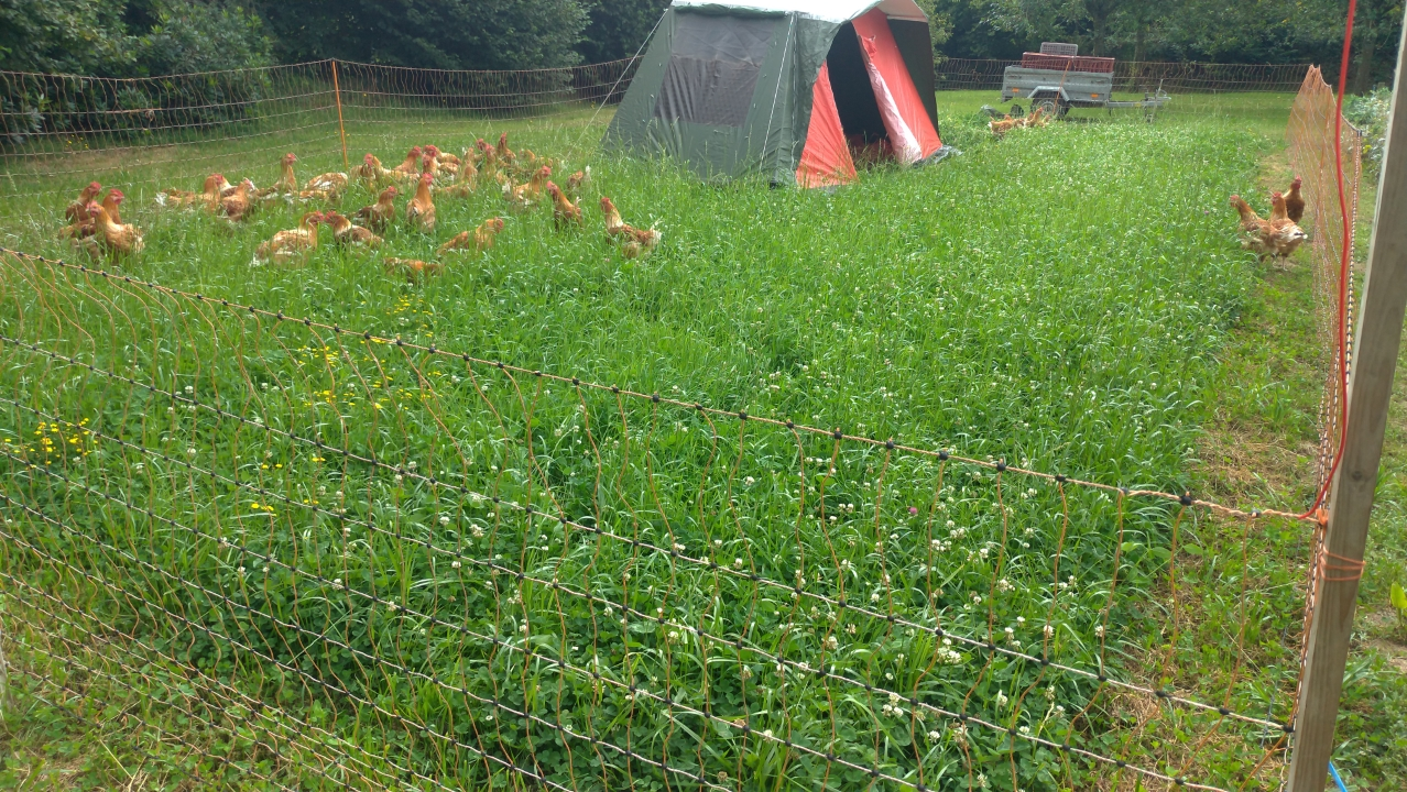 Using a tent as a chicken shelter