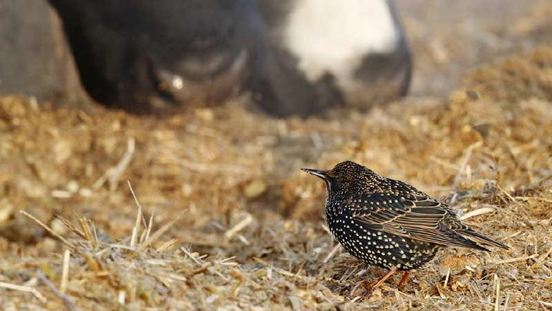 starling eating with cow