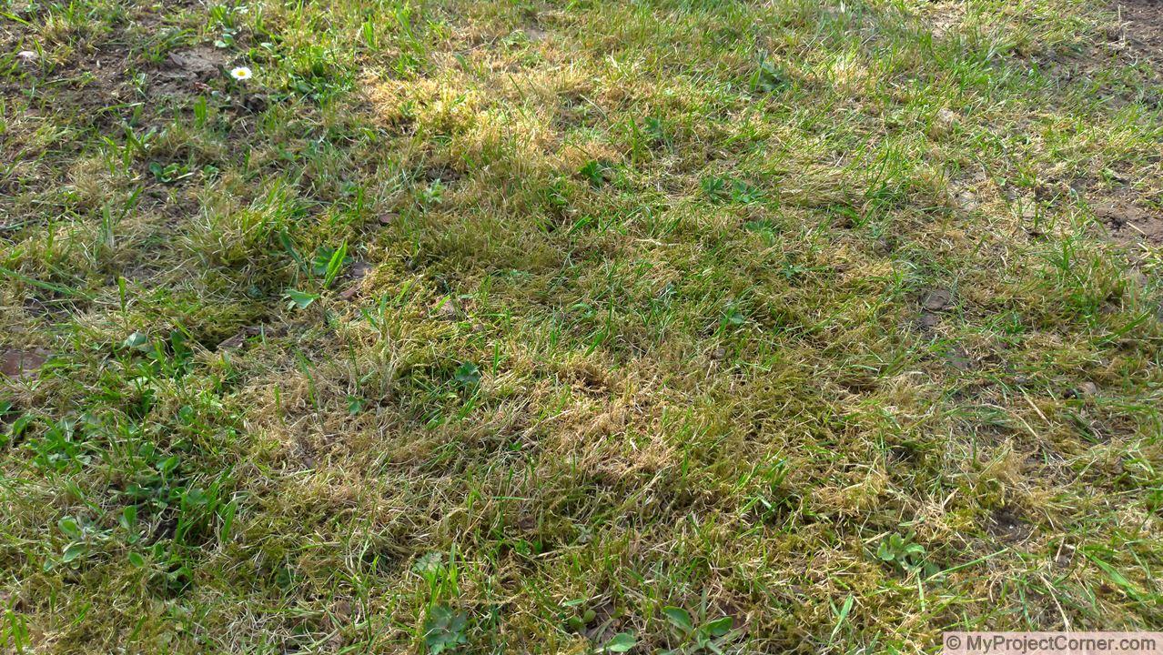 La pelouse à scarifier
